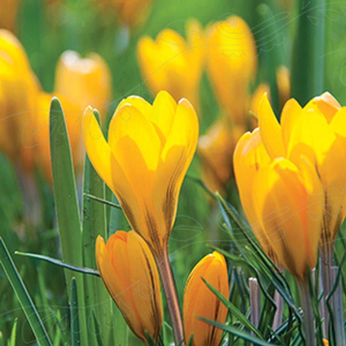 Krokus 'Dutch Yellow'